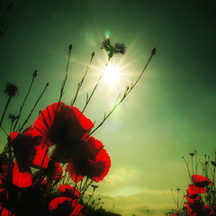 ~ poppies in the sun ~ (~ Pixel Passion ~) Tags: flowers red plants white plant flower green nature colors field yellow spring intense corn colorful warm colours natural wind windy sunny poppy colourful tones springtime springlike