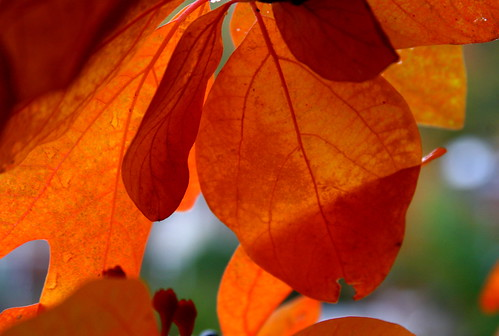 Sassafras tree leaves - courtesy flickr member Muffet