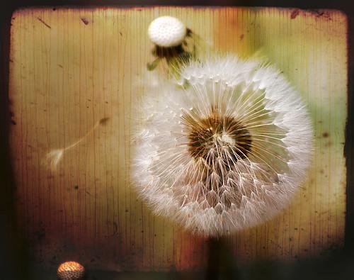 Dandelion textures