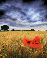 Poppy/Wheat Field (Corica) Tags: york uk greatbritain red england sky tree nature clouds photoshop landscape yorkshire wideangle lane poppy hdr northyorkshire escrick corica naburn cfoct