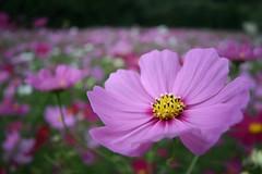 cosmos field (veyan1977) Tags: park pink flower  osaka  efs 1022mm cosmos