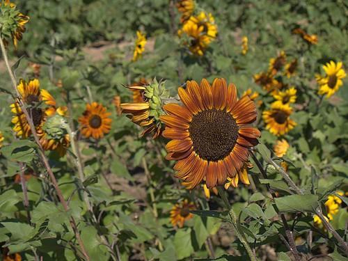 Large, Orange Sunflower
