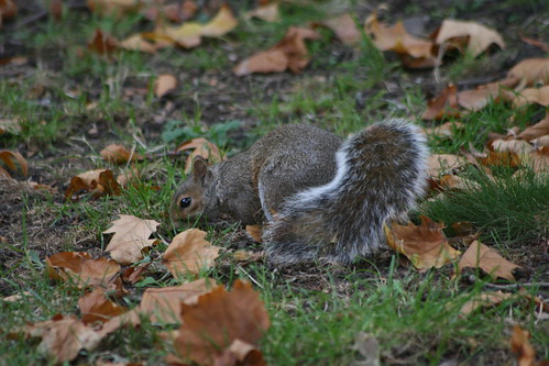 Squirrel Hunting for Nuts under the Autumn Leaves
