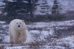 Polar Bear walking in snowfall (Rolf Hicker Photography) Tags: world bear travel winter wild snow canada cute nature animal animals photography tiere photos wildlife bears scenic manitoba polarbear churchill snowing mammals polarbears marinemammal globalwarming hudsonbay naturephotography ursusmaritimus cuteanimals marinemammals travelphotography preditor rolfhicker canadapictures thatsclassy canadaphotography honeymooncanada polarbearpictures picturesofcanada hickerphotocom