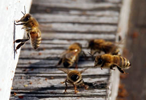 Honey bees gather around the entrance to their hive.