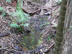 Peaceful Walk in the Rainforest (phempsall) Tags: sea rainforest australia boardwalk acres portmacquarie seaacres