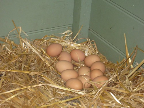 chook house eggs