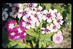 bloemen-038 (Cor Draijer) Tags: bloemen roosendaal mijndert