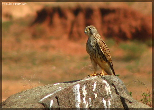 Kestrel on the Rocks