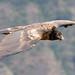 Simien Mountains National Park - Lammergeier