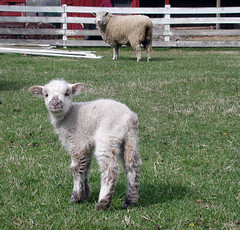 Sheep 201: Docking and castrating