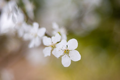 Cherry DOF (A. Saleh) Tags: lebanon white flower macro tree nature fruit cherry spring nikon dof natural blossom bud d200 saleh nikon50mm18 asaad baakleen removedfromnikkorfortags pokeh betterthangood wwwasaadsalehcom grediant