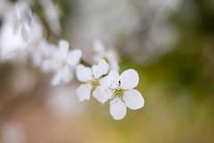 Cherry DOF (A. Saleh) Tags: lebanon white flower macro tree nature fruit cherry spring nikon dof natural blossom bud d200 saleh nikon50mm18 asaad baakleen removedfromnikkorfortags pokeh betterthangood wwwasaadsalehcom grediant