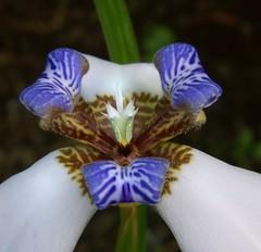 Neomarica gracilis (Jenny Barnes Photography) Tags: impressedbeauty impressedbyyourbeauty overtheexcellence handpickedmasterpiece