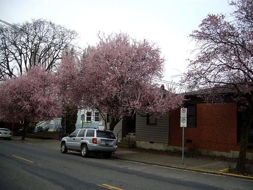 Trees Blossoming in Portland
