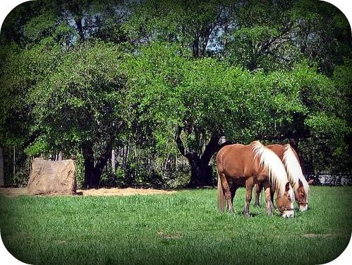 tc horses1
