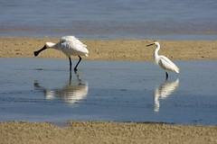 Spoonbill-Eastern Reef Egret (Michael Dawes) Tags: sea reflection nature birds animals australia moretonisland greategret whitefacedheron dawes ardeaalba pacificreefegret naturesfinest egrettanovaehollandiae royalspoonbill platalearegia blueribbonwinner mywinners diamondclassphotographer michaeldawes