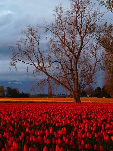 tulip festival ~45~