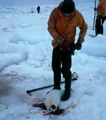 the end of killing sport!please stop this massacre! (milagros108) Tags: baby canada eye love nature animal animals sport loving sadness eyes sad massacre innocent mother compassion seal creature compasion protect regard babyseal northway sadnes