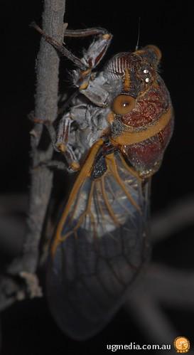 Giant cicada (Hemiptera)
