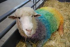 20080522 Dyed Sheep