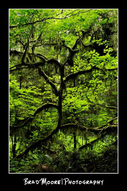 Redwoods_Mossy_Tree