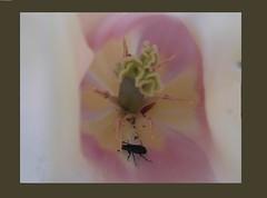 Tulpenvariationen  , inside  - 59 (roba66) Tags: plants flores flower color colour macro nature fleur flora tulips blossom natur flor pflanzen blumen tulip blume makro farbe tulpen tulpe bloem blten flori naturalezza flickrflorescloseupmacros roba66