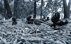 Pines (Efrom) Tags: nikon pines jardimbotnico fm2 pinheiro pinus pinhas conferas