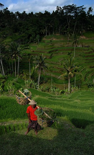 Bali 2007 - Kintamani - Terraced Field(1)