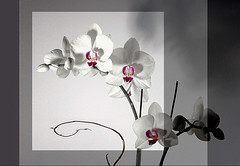 ORCHIDS (saokhue2007) Tags: orchids compositions phalaenopsis coloring ongrey floralarrangement orchidee technique arrangement photoart flowerarrangement tmi houseplants selective austintx indoorplants selectivecolor artisticphotography goldensquare vn tropicalflower whiteflowers orchidea flowerart reduction houstontx whiteorchid floralart blackwhiteandred top20flowers vitnam geometricbeauty whiteorchids aworkofart mywinners top20white creativemaster euvnphotonet auniverseofflowers bestofvietbestphoto vietbestphoto lenshouston showthebest