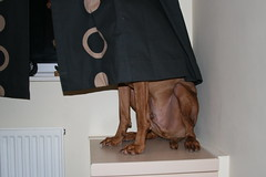 Woody playing hide and seek during  halloween (Woody Worth) Tags: cute dogs halloween animal puppy happy puppies pointer woody vizsla 100views elaine worth kev hungarian whitwick