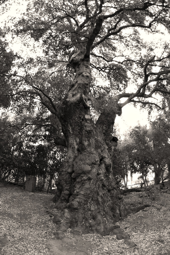 700-year-old live oak duotone