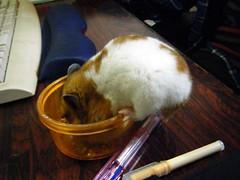 20071212 - 03 (kayako_) Tags: hamster pon