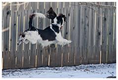 Air Darwin (hz536n/George Thomas) Tags: winter dog white motion oklahoma ess jumping darwin midair springer springerspaniel 2007 englishspringerspaniel supershot canonef70200mmf4lusm pse5 platinumphoto