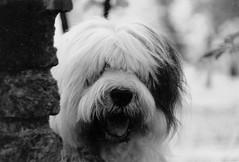 lobbes * explore * (dewollewei) Tags: old blackandwhite chien english dogs cane sheepdog perro explore hund bobtail oes oldenglishsheepdog sheepdogs oldenglishsheepdogs explored viejopastoringles παλιά σκύλοσ oldenglishsheepdogsworldwide αγγλικά τσοπανόσκυλο