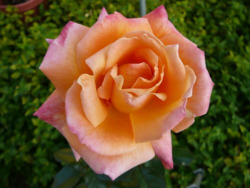 pink_rose-1120850
