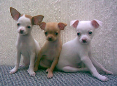 CHIHUAHUAS by Toronja Azul, on Flickr