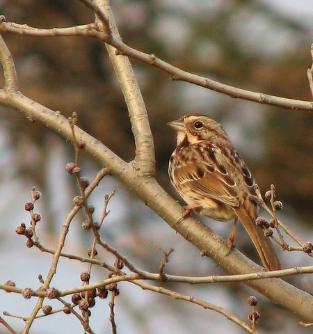 song sparrow, Forest Park 020208