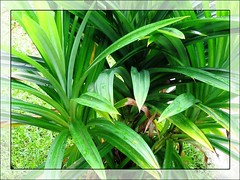 Pandanus odorus (Pandan Leaf, Fragrant Leaves)