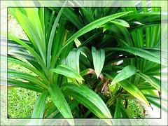 Pandanus odorus (Pandan Leaf, Fragrant Leaves)