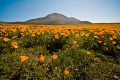 California Poppy Field Point Buchon, CA poppy-fields-buchon-trail-MdO-3 (mikebaird) Tags: flowers flower day earth things clear creativecommons montanadeoro eschscholzia mdo californiapoppy californica eschscholziacalifornica homeopathy naturesfinest mikebaird bairdphotoscom 23march2008 regionwide organicandgmofreeworld millionsagainstmonsanto