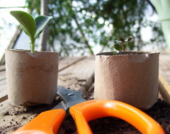 seedling cups