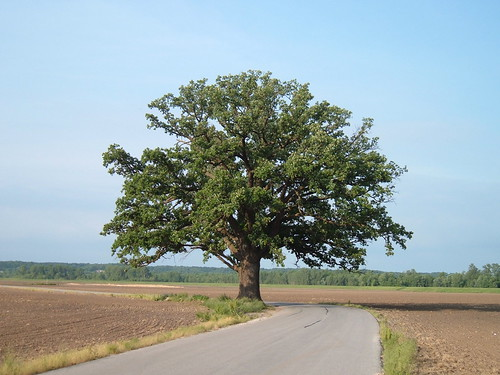 Giant oak near Katy Trail, Missouri