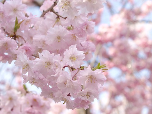 20080405 哲学の道・鴨川の桜 071