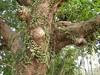 竹山鎮中和里救人老茄苳樹DSCN0174