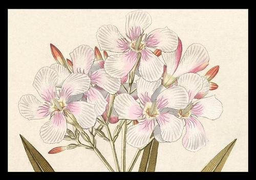 Pink-White flower sprig
