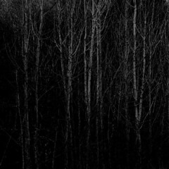 darkwood (johnnyramsay) Tags: wood light john evening birch birches ramsay copse johnnyramsay johnframsay
