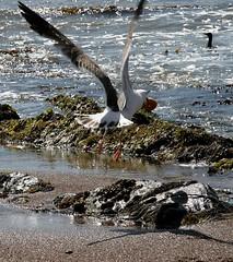 Donut Gull Shadow Cormorant (Fletcher Gravy) Tags: thebiggestgroup dayofthedonut