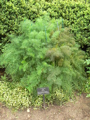 Fennel in Hortulus