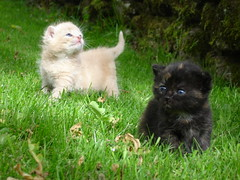 Flamenco + Ruskea (Urs Wachter) Tags: pet cats baby pets black cute cane cat schweiz switzerland kitten feline chat pretty babies suisse kitty gato kitties katze  puss gatto aargau kats overload ktzchen chaton urs wachter gattini httli mywinners cat1000 kissablekat oberkulm kittyschoice pet3000 pigawards